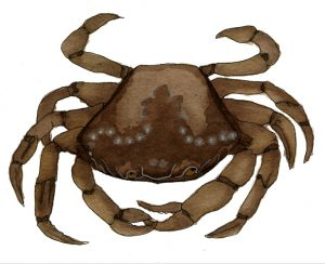 crab-jpeg-wee