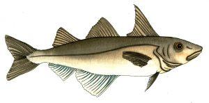 haddock-jpeg-wee