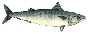 mackerel-jpeg-wee