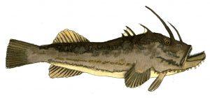 monkfish-jpeg-wee